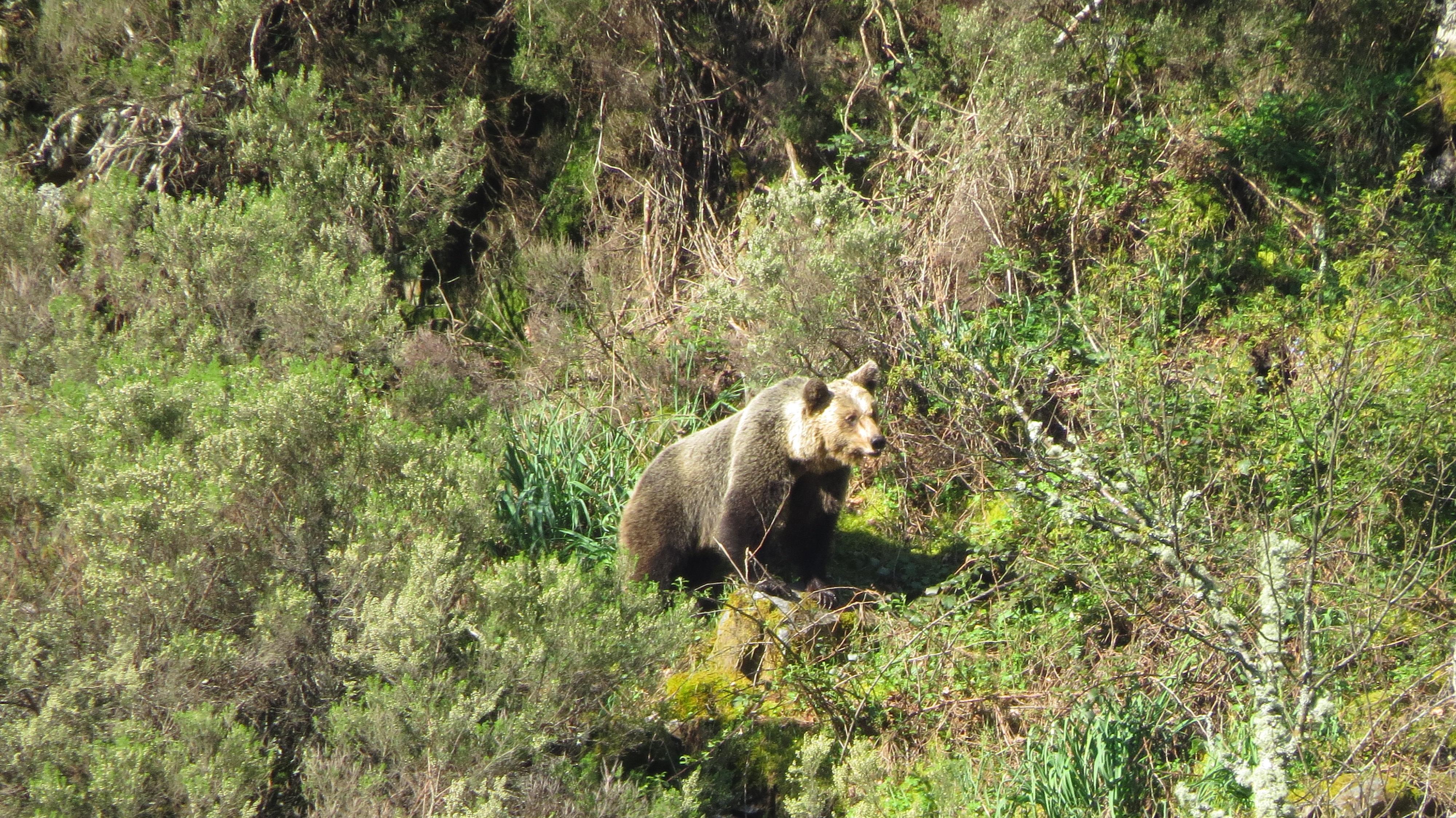 osos asturias